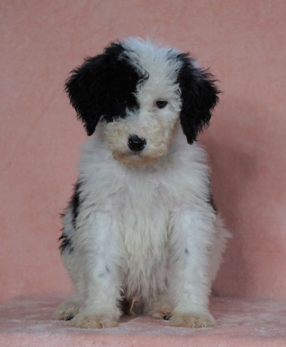 F1B Sheepadoodle For Sale Baltic, OH Male- Prince -CHECK OUT OUR VIDEO-