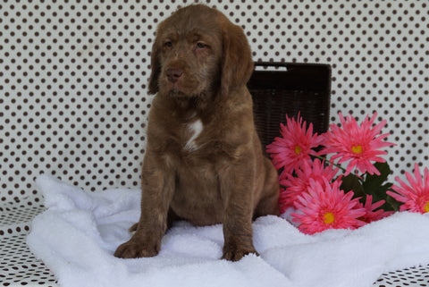 Labradoodle Puppy For Sale Fredericksburg OH Male Adam