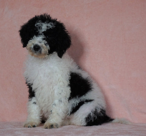 F1B Sheepadoodle For Sale Baltic, OH Female-Tiffany -CHECK OUT OUR VIDEO-