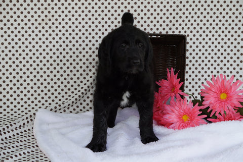 Labradoodle Puppy For Sale Fredericksburg OH Female Alexis