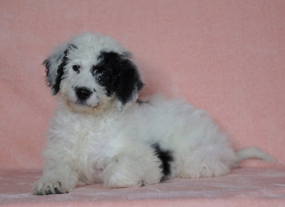F1B Sheepadoodle For Sale Baltic, OH Female- Rita -CHECK OUT OUR VIDEO-