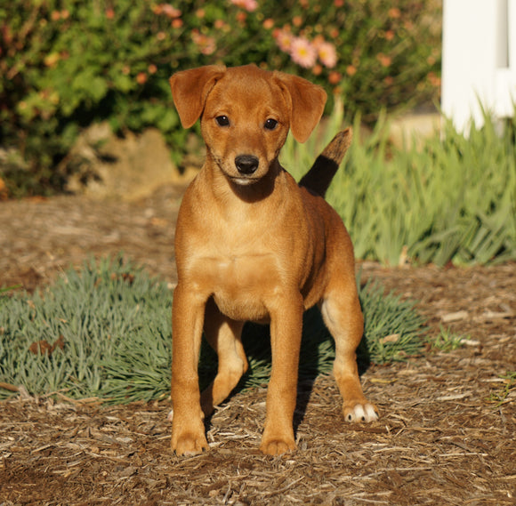 Miniature Pinscher For Sale Fredericksburg, OH Female- Maggie