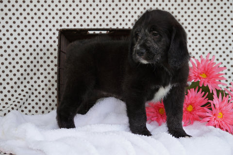 Labradoodle Puppy For Sale Fredericksburg OH Female Addison