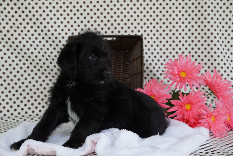 Labradodle For Sale Fredericksburg OH Male CeeCee