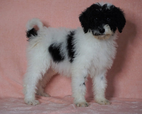 F1B Sheepadoodle For Sale Baltic, OH Male- Bingo -CHECK OUT OUR VIDEO-