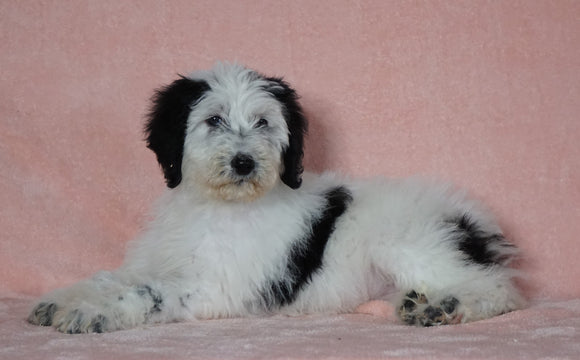 F1B Sheepadoodle For Sale Baltic, OH Female- Ariel -CHECK OUT OUR VIDEO-