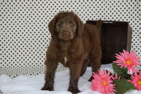 Labradoodle For Sale Fredericksburg OH Male Cliffard