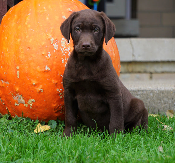 AKC Registered Chocolate Labrador Retriever Puppy For Sale Sugarcreek, OH Male- Sparky
