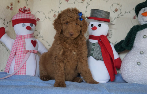 Standard F1B Goldendoodle For Sale Sugarcreek, OH Male- Cute Spot