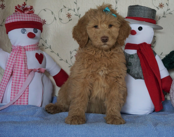 Standard F1B Goldendoodle For Sale Sugarcreek, OH Male- Bubbles