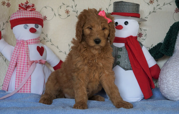 Standard F1B Goldendoodle For Sale Sugarcreek, OH Female- Lollipop