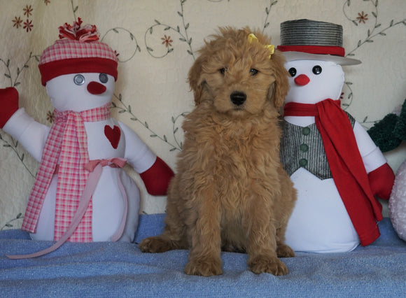 Standard F1B Goldendoodle For Sale Sugarcreek, OH Male- Sugar