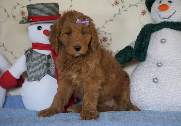 Standard F1B Goldendoodle For Sale Sugarcreek, OH Male- Bingo