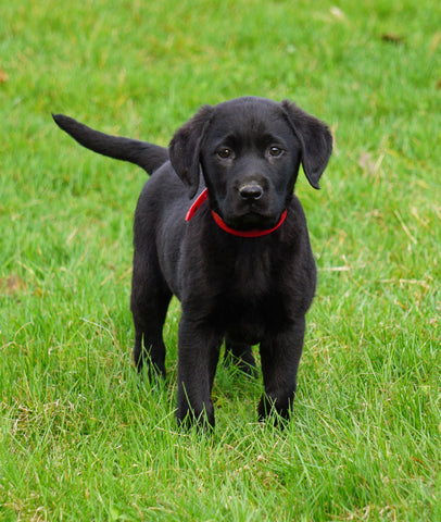 Labrador Retriever For Sale Fredericksburg, OH Female- Sadie