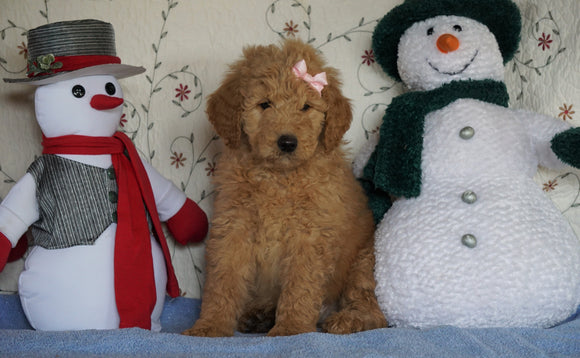 Standard F1B Goldendoodle For Sale Sugarcreek, OH Female- Sunshine