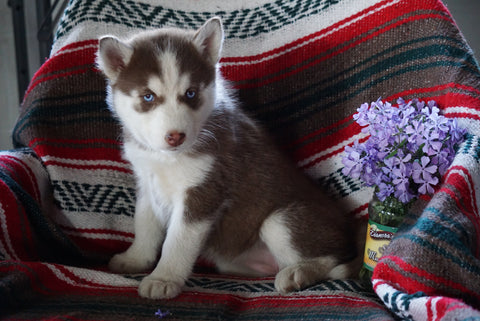 AKC Registered Siberian Husky For Sale Fredericksburg OH Female Sharon