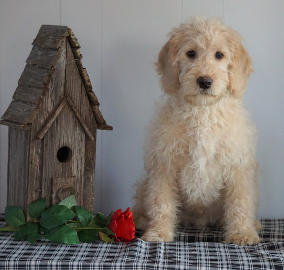 F1B Mini Labradoodle For Sale Millersburg, OH Male- Frank