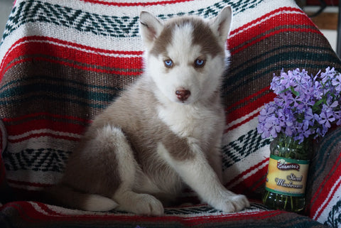 AKC Registered Siberian Husky For Sale Fredericksburg OH Female Sheila
