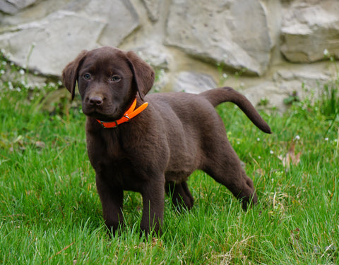 Labrador Retriever For Sale Fredericksburg, OH Female- Sydney