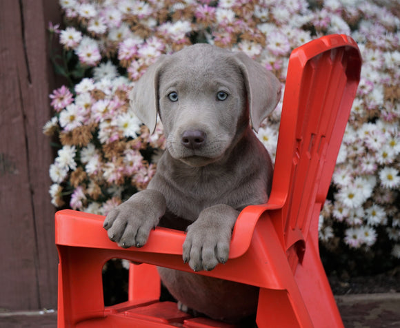 AKC Registered Silver Labrador Retriever Puppy For Sale Sugarcreek, OH Male- Fernando