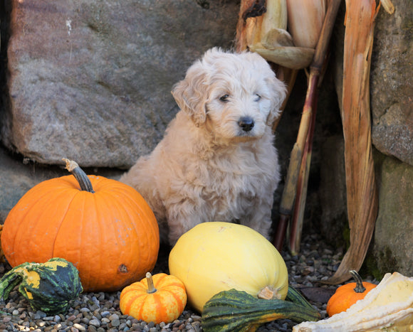 Mini Goldendoodle For Sale Millersburg, OH Female- Daisy