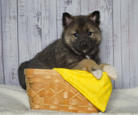 Norwegian Elkhound Hybrid For Sale Adamsville, OH Female - Trixie