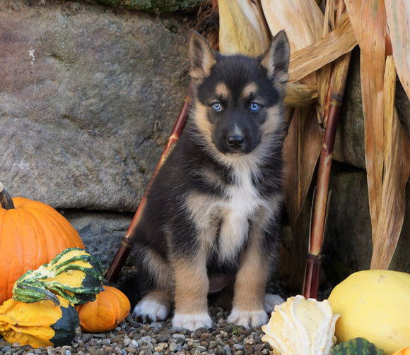 German Shepherd/ Siberian Husky Mix For Sale Millersburg, OH Female- Tinker