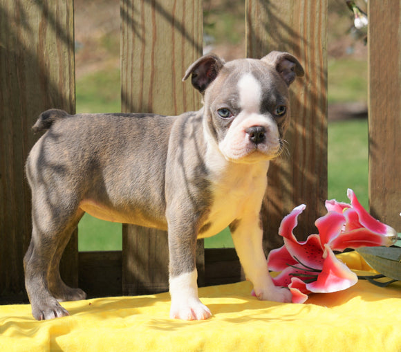 AKC Registered Boston Terrier For Sale Warsaw, OH Female- Anna's Blue Bell