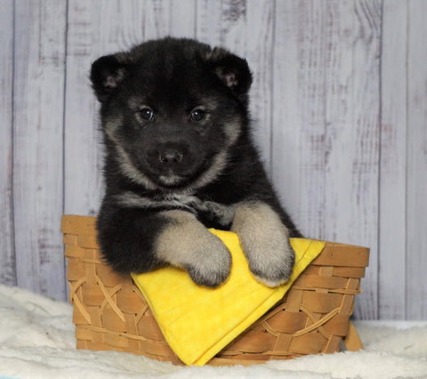 Norwegian Elkhound Hybrid For Sale Adamsville, OH Male - Brummi