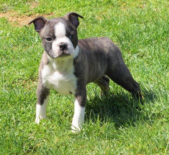 AKC Registered Boston Terrier For Sale Warsaw, OH Male- Apollo