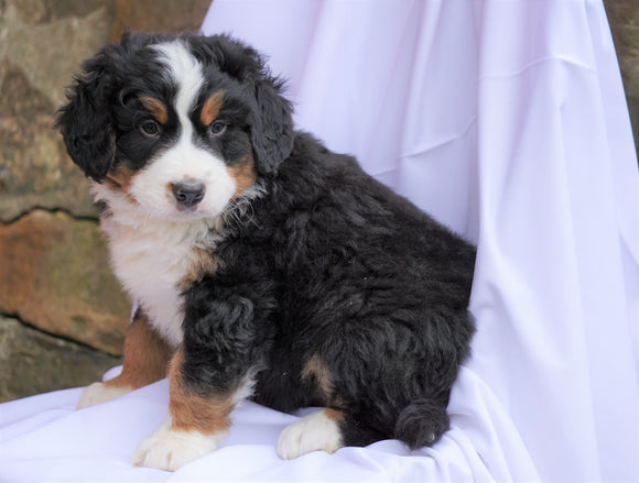 AKC Registered Bernese Mountain Dog For Sale Millersburg, OH Male- Hemi