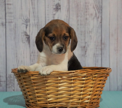 Beagle For Sale Fresno, OH Female - Daisy
