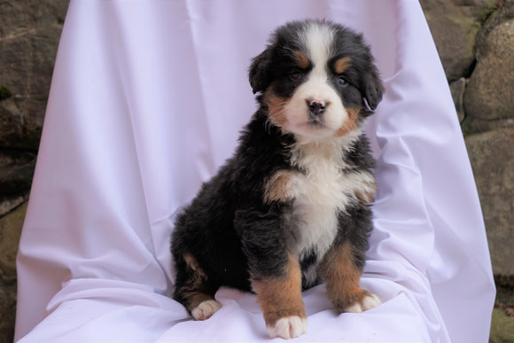 AKC Registered Bernese Mountain Dog For Sale Millersburg, OH Male- Max