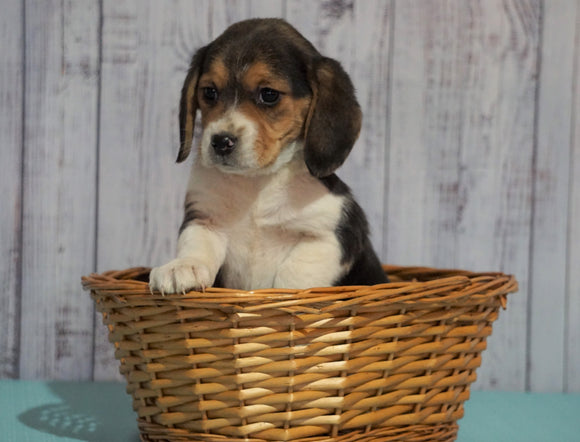 Beagle For Sale Fresno, OH Female - Ann
