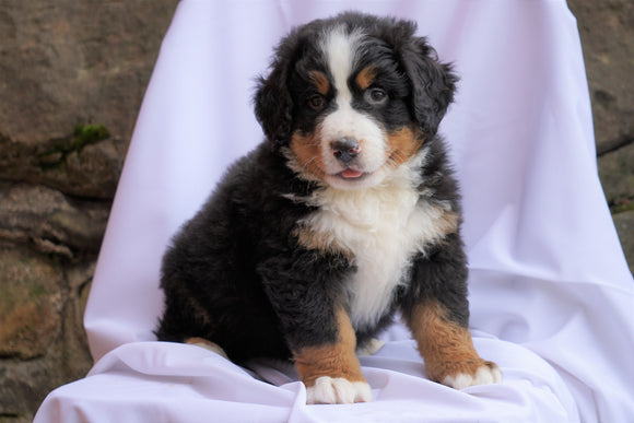 AKC Registered Bernese Mountain Dog For Sale Millersburg, OH Male- Reo