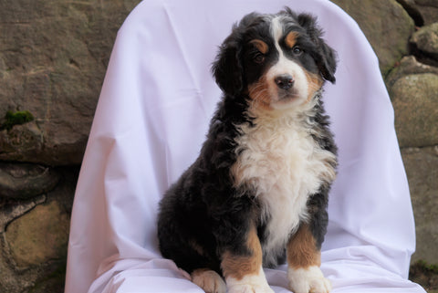 AKC Registered Bernese Mountain Dog For Sale Millersburg, OH Male- Ricky