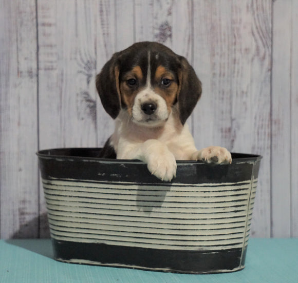Beagle For Sale Fresno, OH Male - Mason
