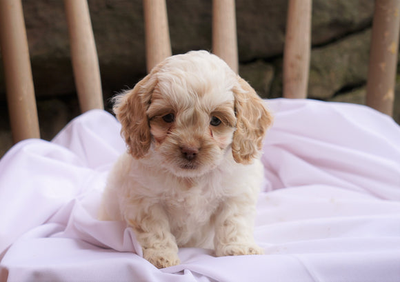 Cockapoo Puppy For Sale Millersburg, OH Male- Houston