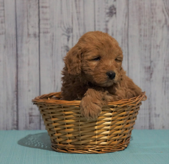 Mini Goldendoodle For Sale Fresno, OH Male - Max
