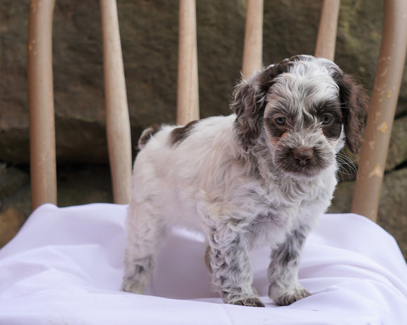Cockapoo Puppy For Sale Millersburg, OH Female- Brittany