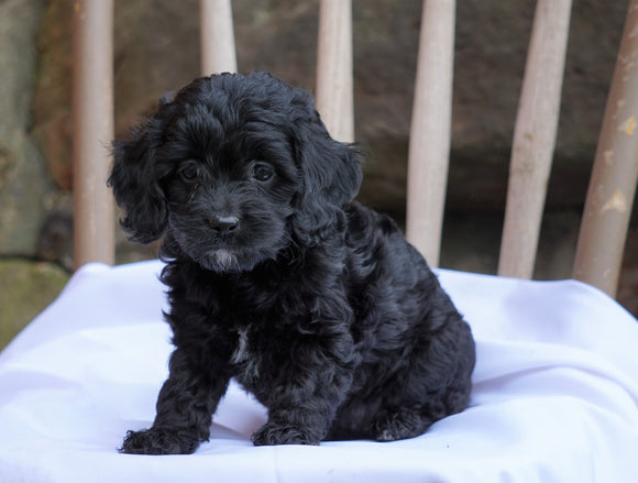 Cockapoo Puppy For Sale Millersburg, OH Female- Sheila