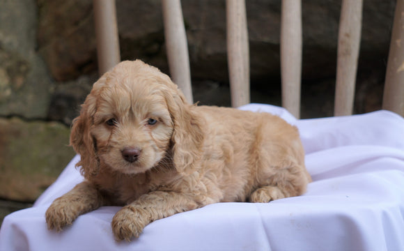 Cockapoo Puppy For Sale Millersburg, OH Male- Tommy