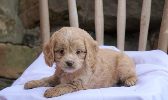 Cockapoo Puppy For Sale Millersburg, OH Male- Tucker