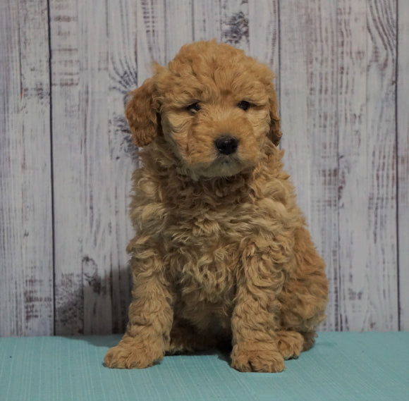 Mini Goldendoodle For Sale Fresno, OH Female - Lily