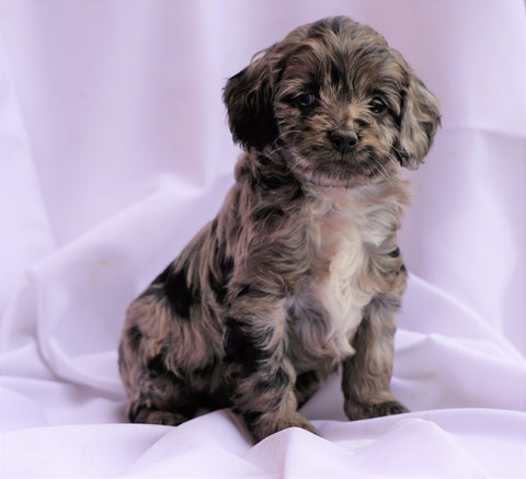 Cockapoo Puppy For Sale Millersburg, OH Female- Tika