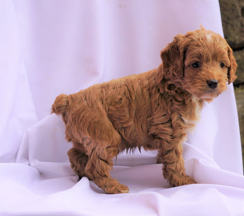 Cockapoo Puppy For Sale Millersburg, OH Male- Carson