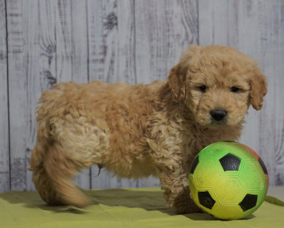 Mini Goldendoodle For Sale Fresno, OH Male - Tommy