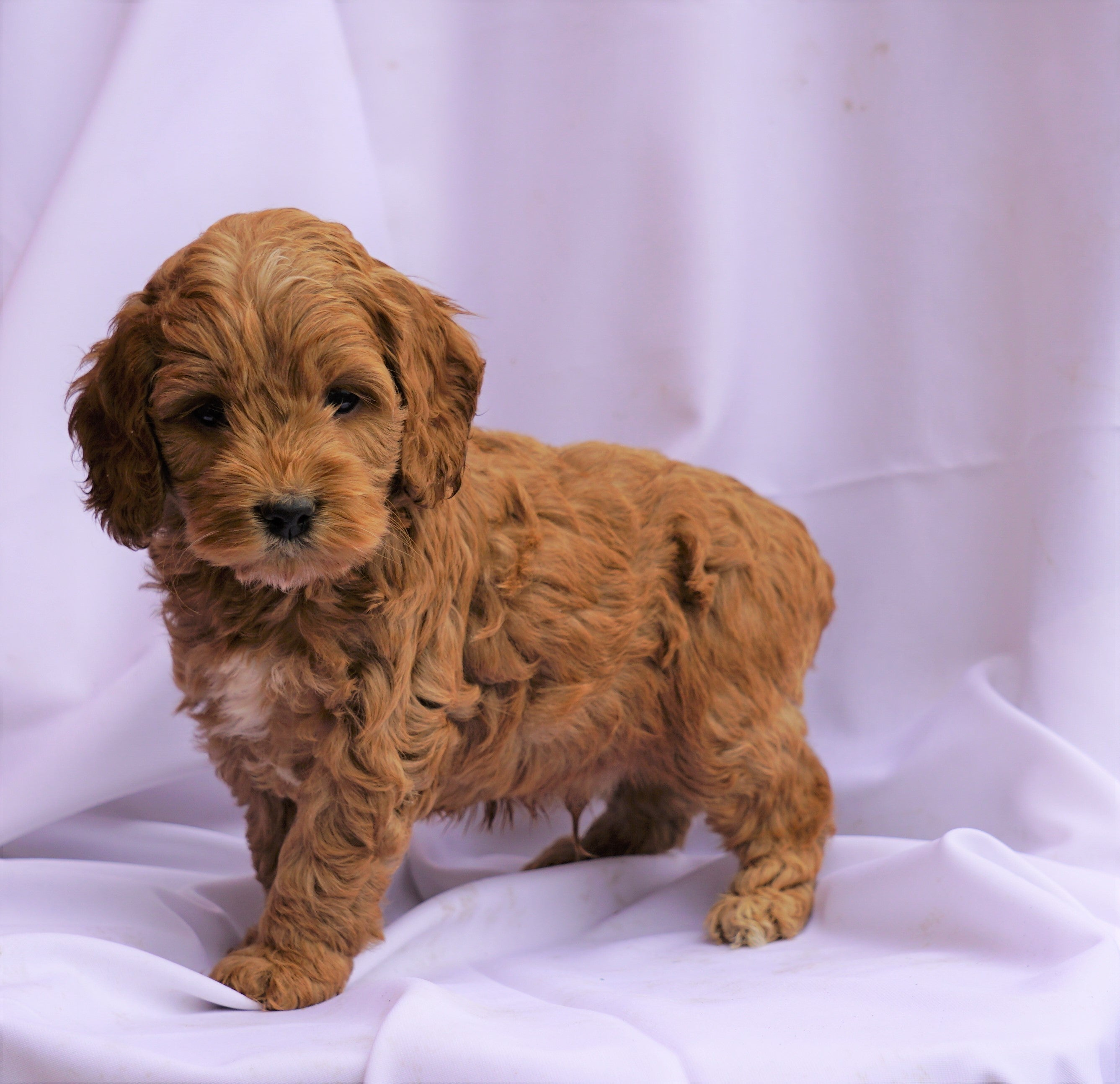 Cockapoo Puppy For Sale Millersburg Oh Male Collin Ac Puppies Llc