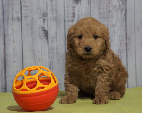 Mini Goldendoodle For Sale Fresno, OH Male - Mickey