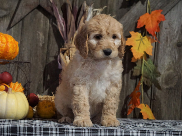 F1B Medium Labradoodle For Sale Millersburg, OH Female- Tic Tac
